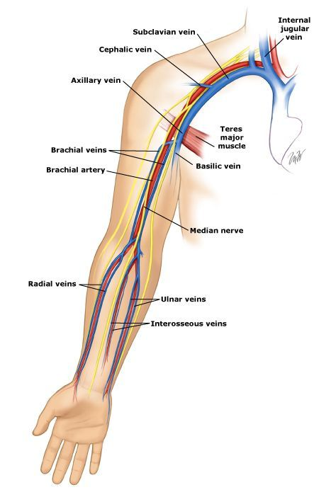 Σχετική εικόνα | artery -vein upper limb | Pinterest | Anatomy ...