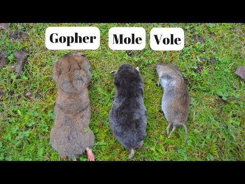 How To Identify If You Have Gophers Moles Or Voles Digging Up Your Yard Youtube Mole Gopher Moles In Yard