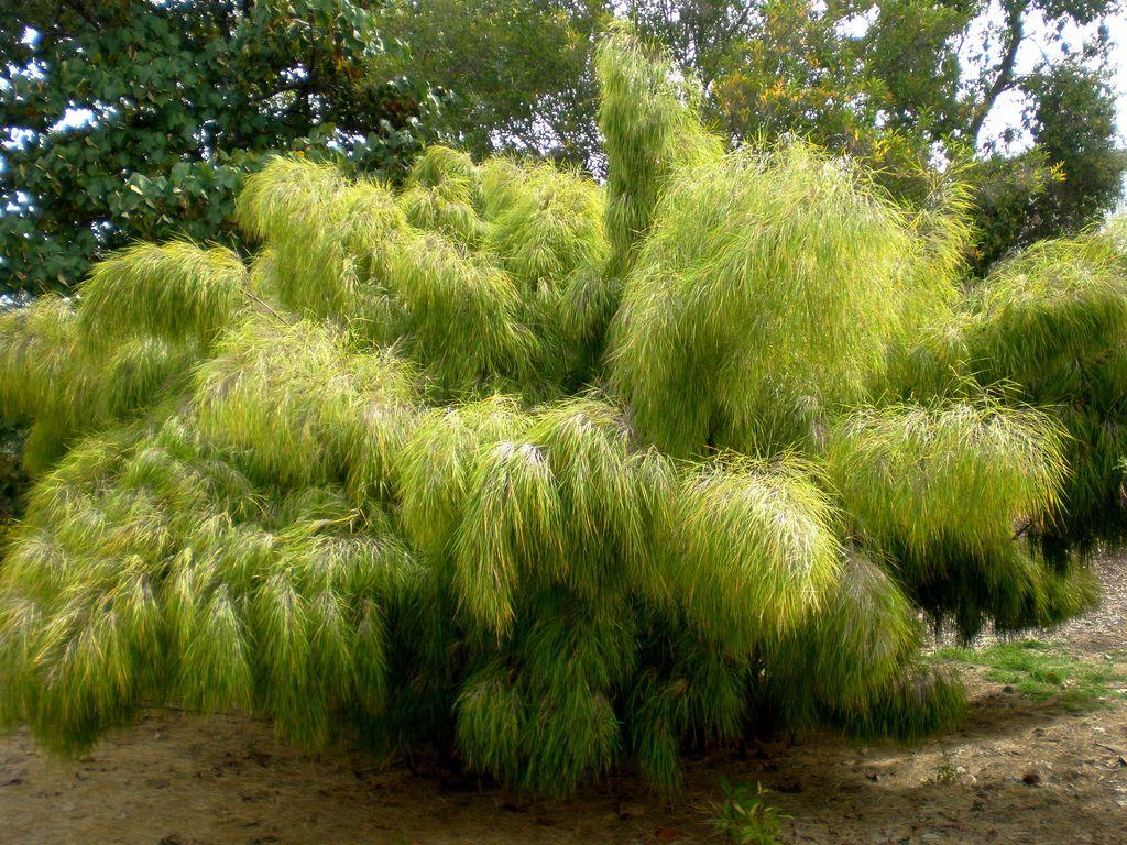 Otatea Acuminata Aztecorum Mexican Weeping Bamboo Things To Grow