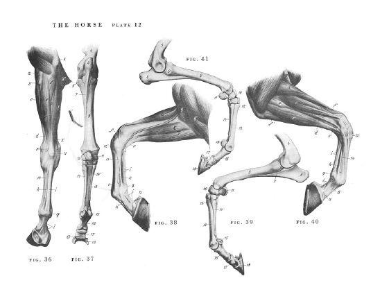 Horse Anatomy By Herman Dittrich Hind Legs: 동물해부학-소,말,염소