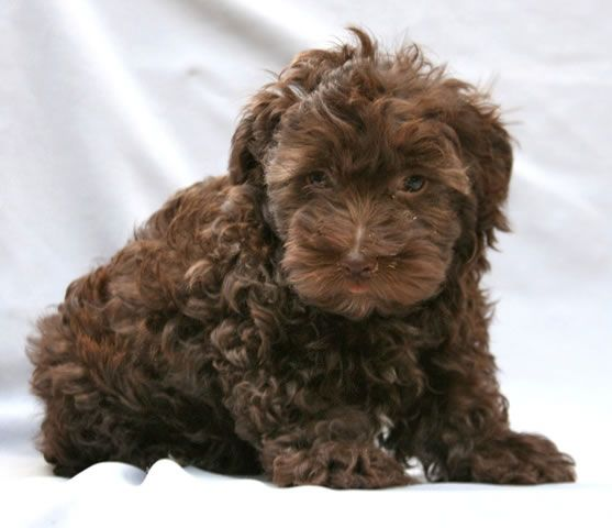 Guess The Dog A Poodle Puppy B Curly Coat Retriever C Poodle Schnauzer Schdoodle I M Guessing C He Looks Just Like Our Former Love Rascal Who Was A B