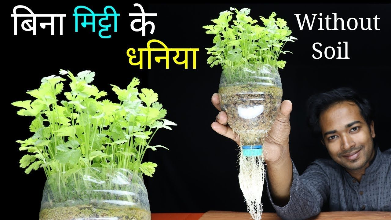 How To Grow Coriander At Home Without Soil Grow Coriander Or