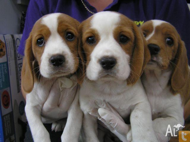 Beaglier Beagle X Cavalier King Charles Spaniel Puppy King Charles Cavalier Spaniel Puppy Cavalier King Charles Spaniel Spaniel Puppies For Sale