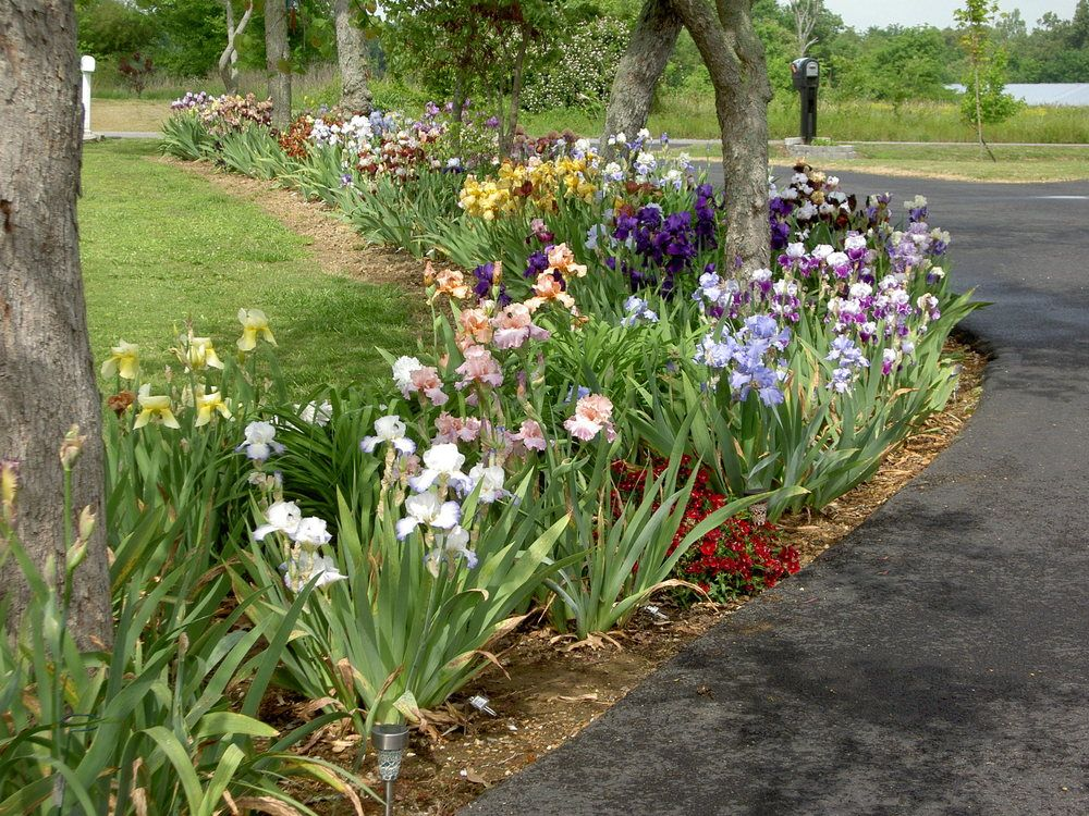 Lining The Driveway With Iris Beautiful Iris Garden Front Yard Landscaping Design Front Yard Landscaping
