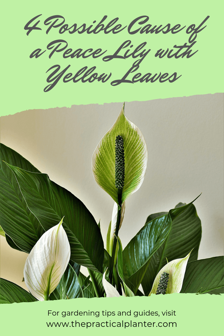 4 Possible Cause Of A Peace Lily With Yellow Leaves Plus The Fixes The Practical Planter In 2020 Peace Lily Peace Lily Plant Peace Lily Flower