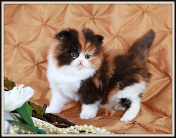 Past Kittens Persian Kittens Cute Cats And Dogs Persian
