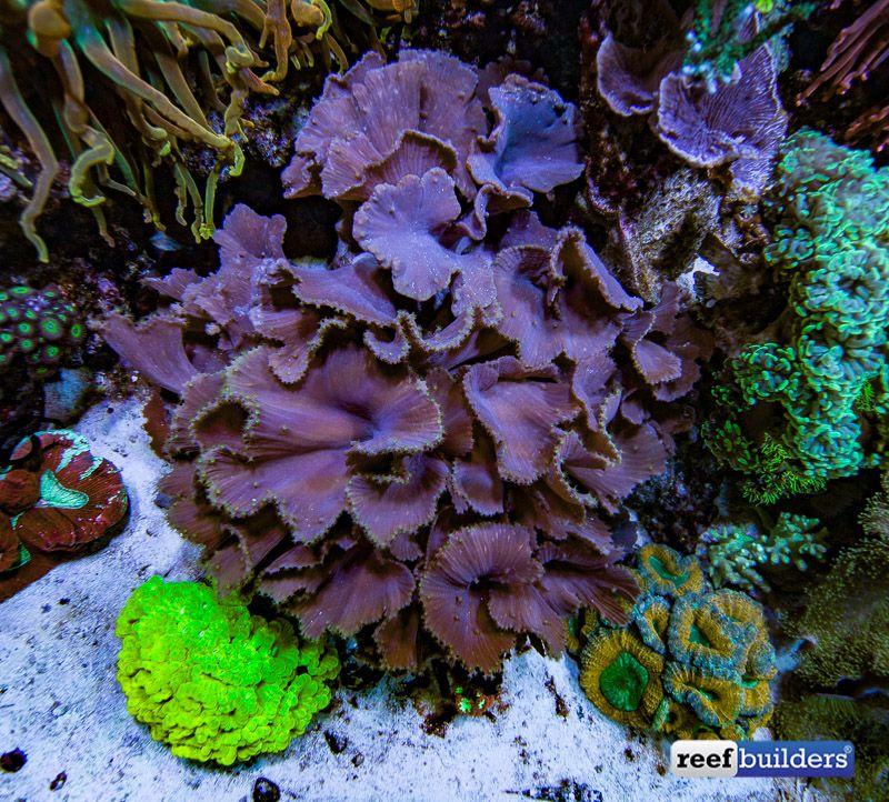 Sinularia Dura Cabbage Leather Coral 2 Saltwater Aquarium Saltwater Tank Saltwater