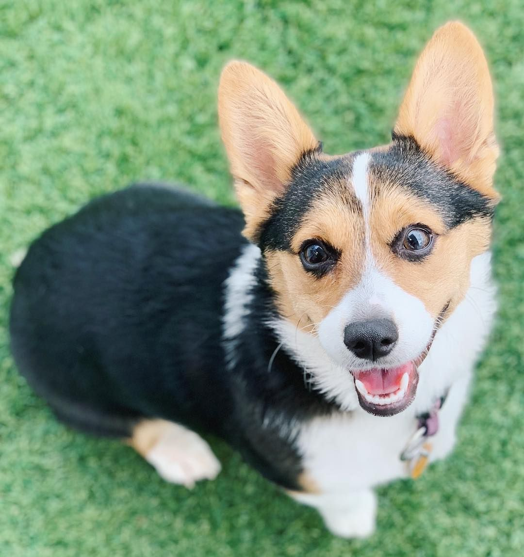 Puppy Training How To Train A Puppy Tips Tricks Corgipuppies