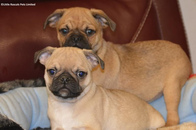 Playful 7 8 Pug Both Fawn And Black Available Designer And Cross