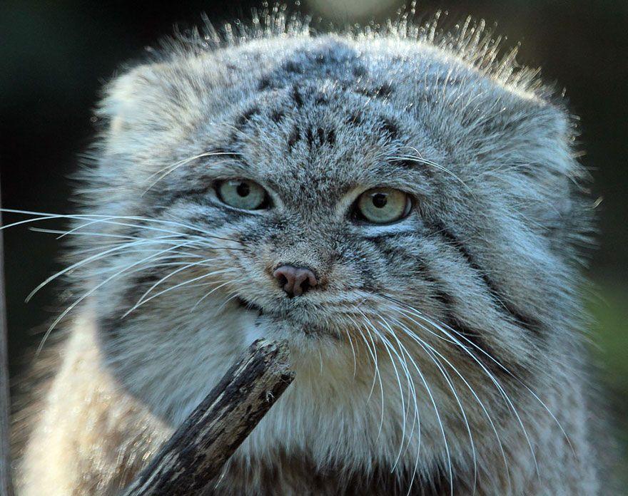 Felis manul (nome científico), o gato-de-pallas ou gato manul.