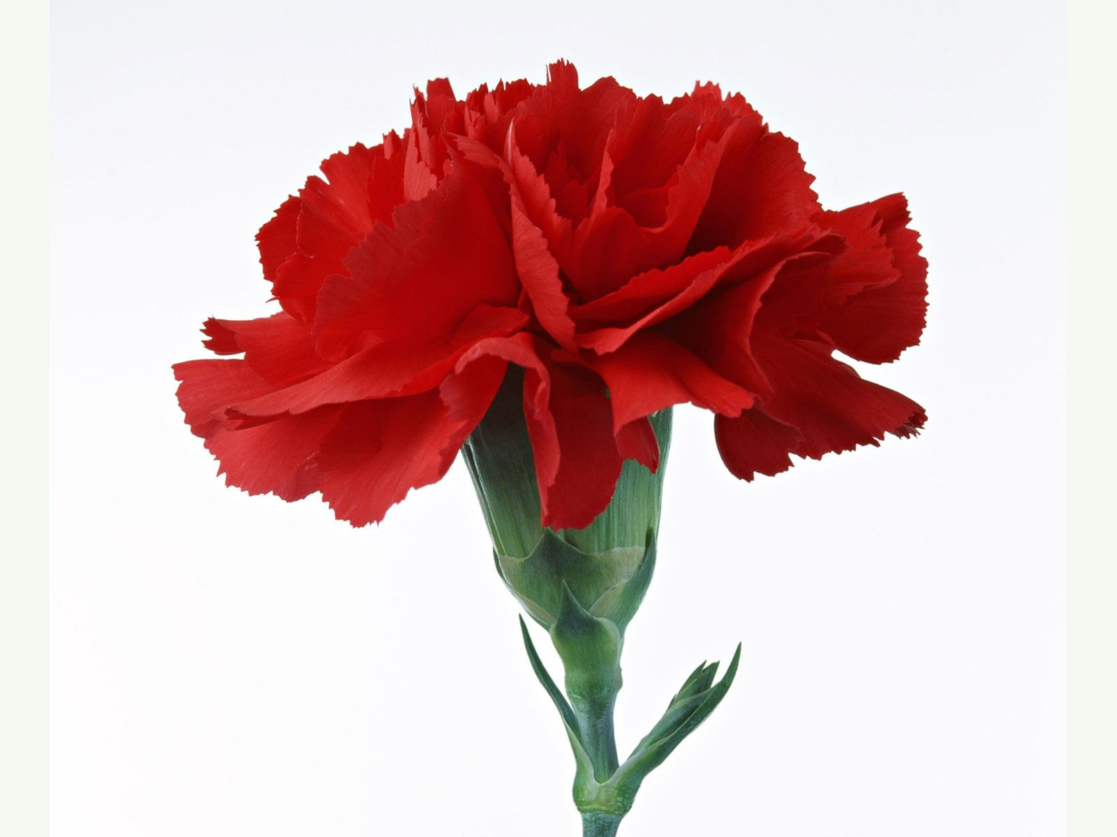 Red Carnation Google Search Red Flowers Pinterest