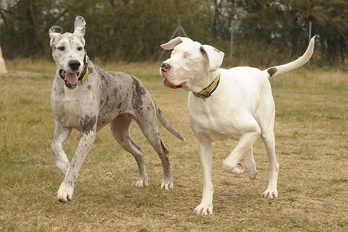 Lily Is A Great Dane That Has Been Blind Since A Bizarre Medical