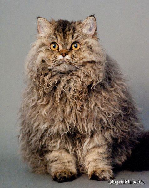 Selkirk Rex Cats Curly Cat Rex Cat Cats