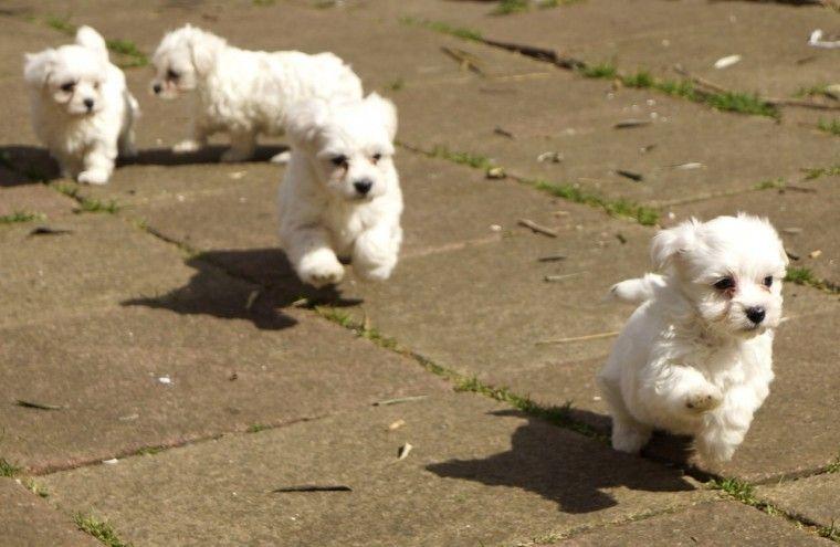 1 00 Regalo Cachorros Bichon Maltes Preciosa Y Encantadora Camada De Cachorros Bichon Maltes Criadero Venta Cam Mascotas Perros Bichon Maltes Cachorros