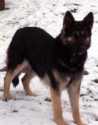 Black And Tan Gsd Large Black And Tan German Shepherd German