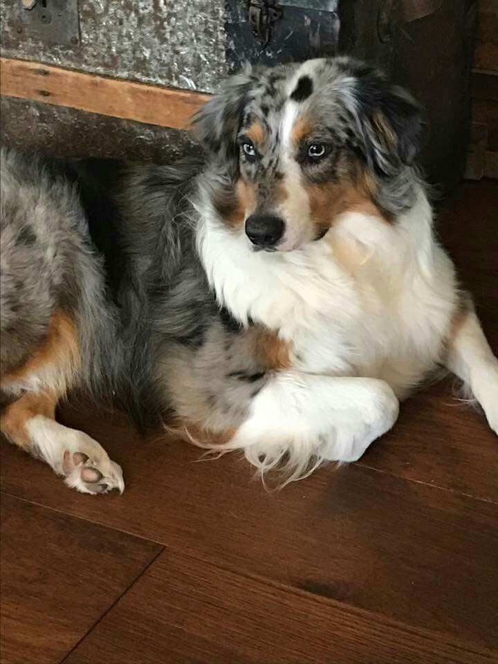 Pin By Kyla On Aussies And Other Good Looking Dogs Aussie Dogs Australian Shepherd Australian Shepherd Dogs
