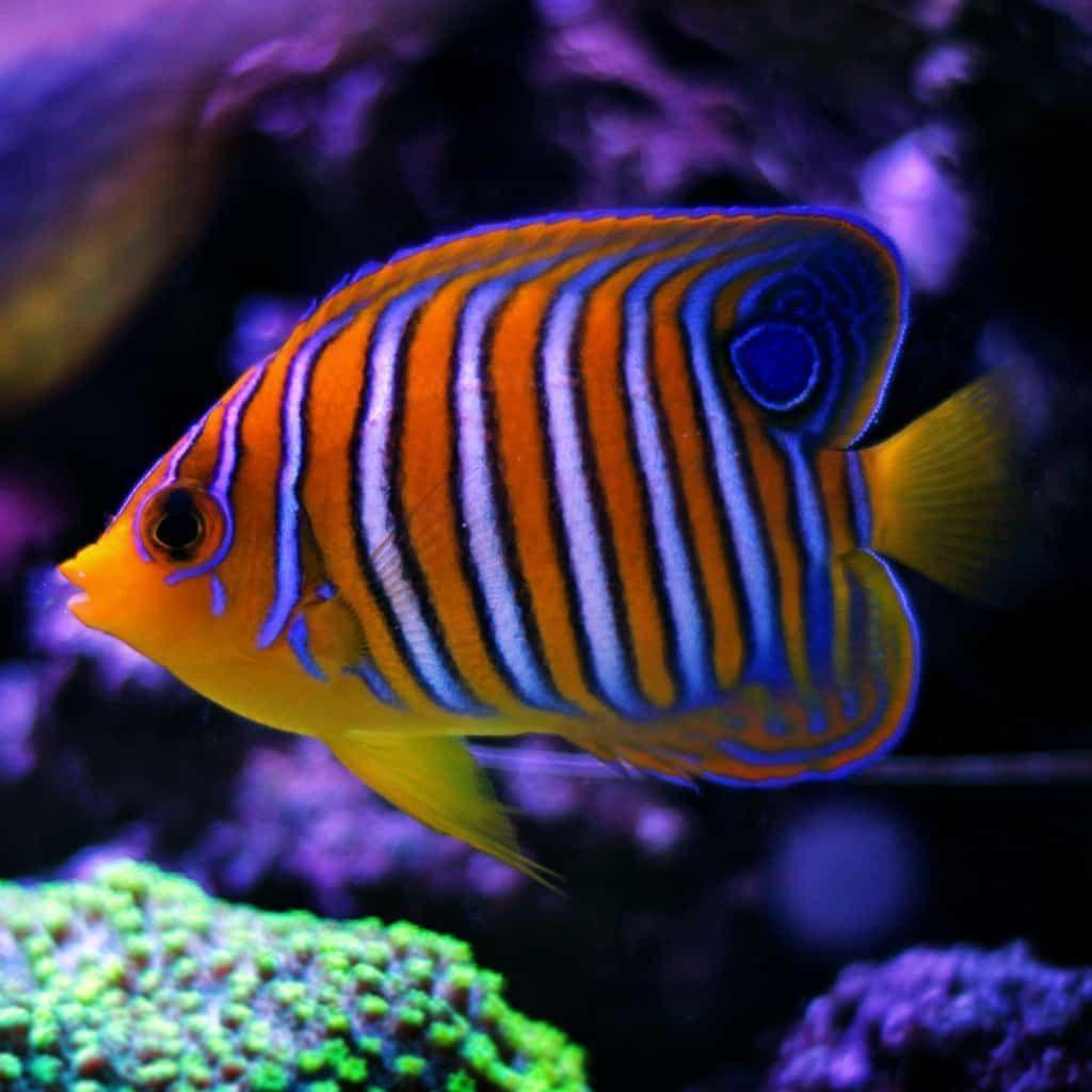 Regal Angelfish Pygoplites Diacanthus Angel Fish Butterfly Fish Marine Aquarium