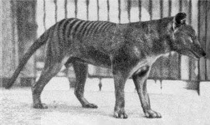 Tasmanian tiger, a marsupial - Ectinct. Animali di Potere: Tilacino, Animale di Potere e Totem