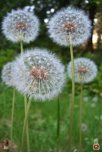 100 8370 2 Beautiful Nature Beautiful Flowers Dandelion