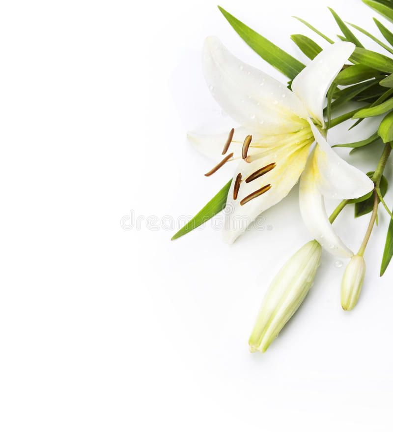 Madonna Lily Isolated On A White Background White Lily Flower Isolated On A Whi Aff Isolated Lily Madonna White Lily Flower Lily Flower White Lilies