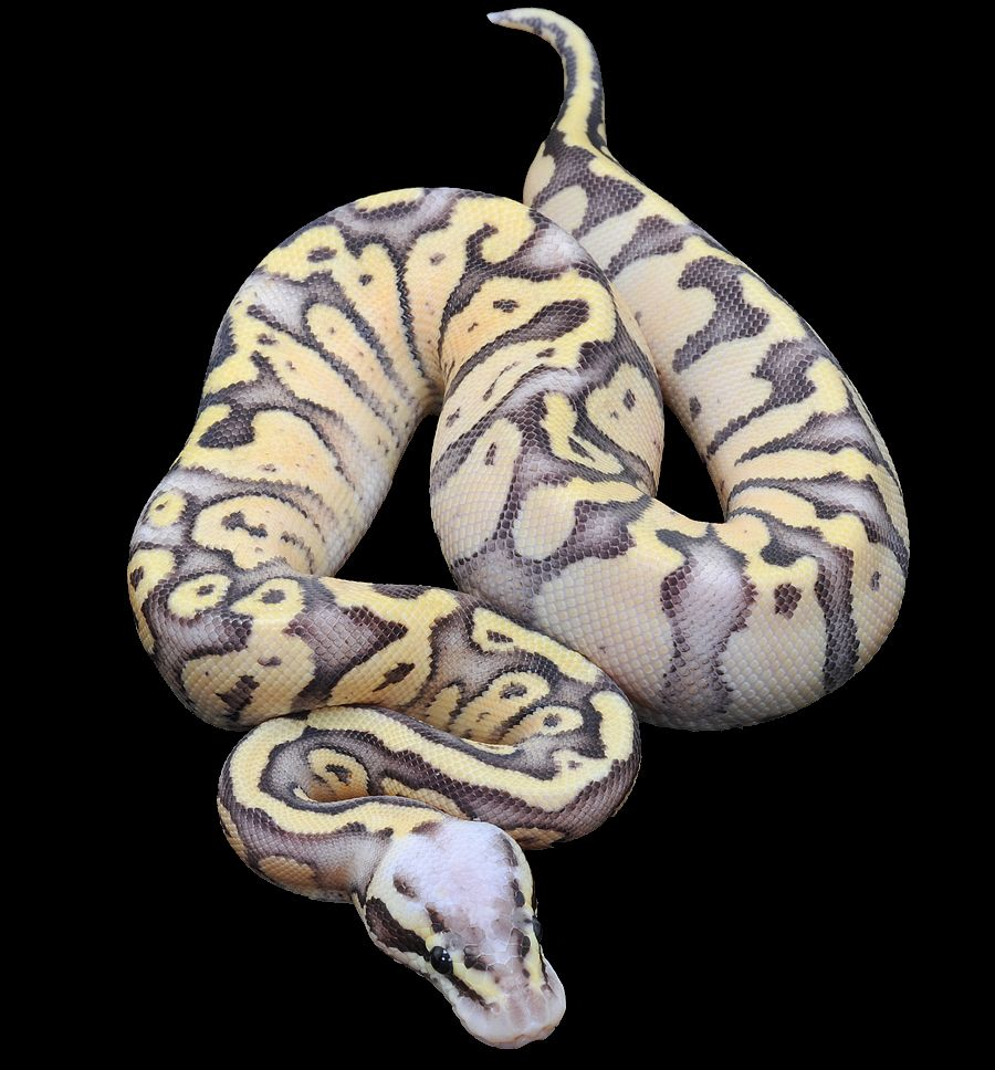 Super Fly Ball Python Snake lovers, Snake cages, Ball python