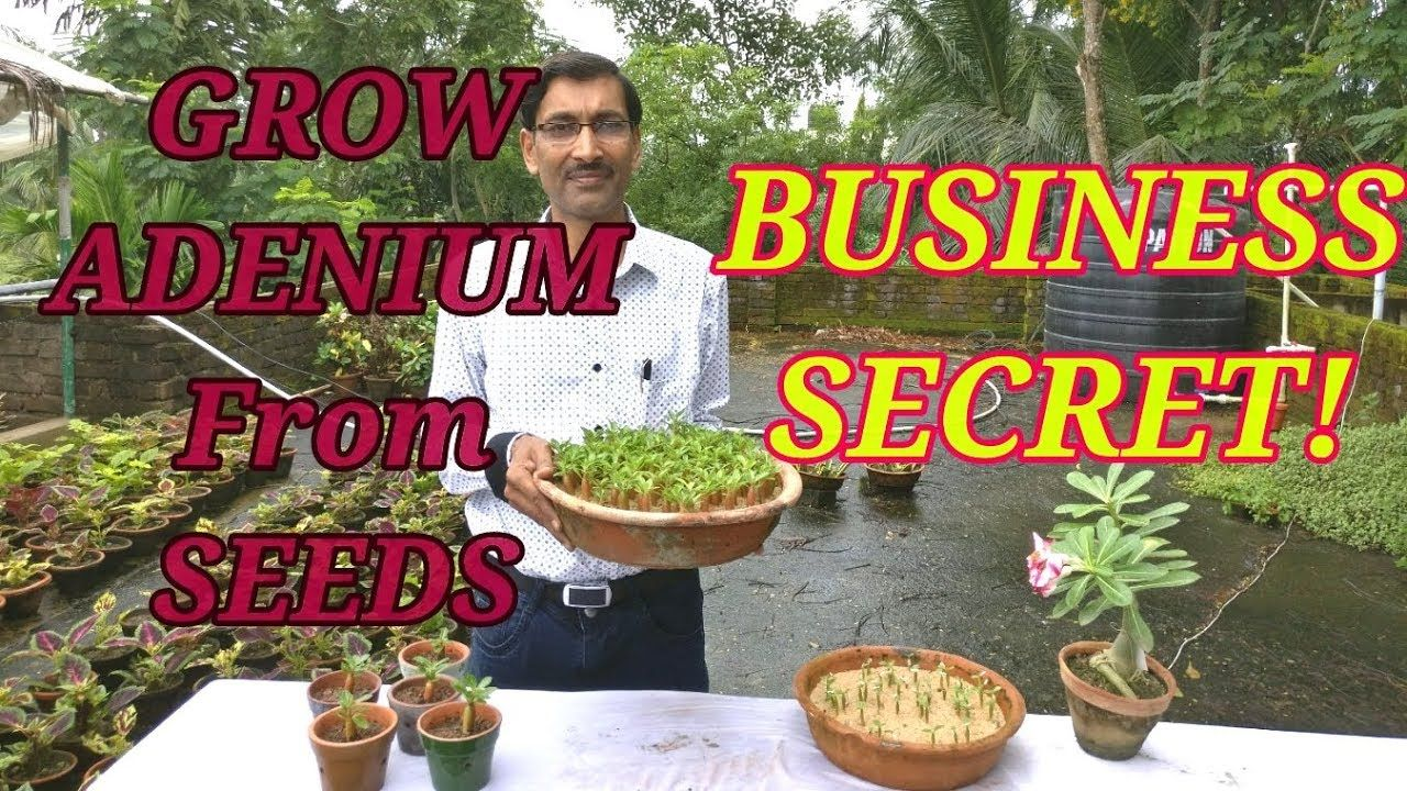 How to grow adenium from seeds the business secret