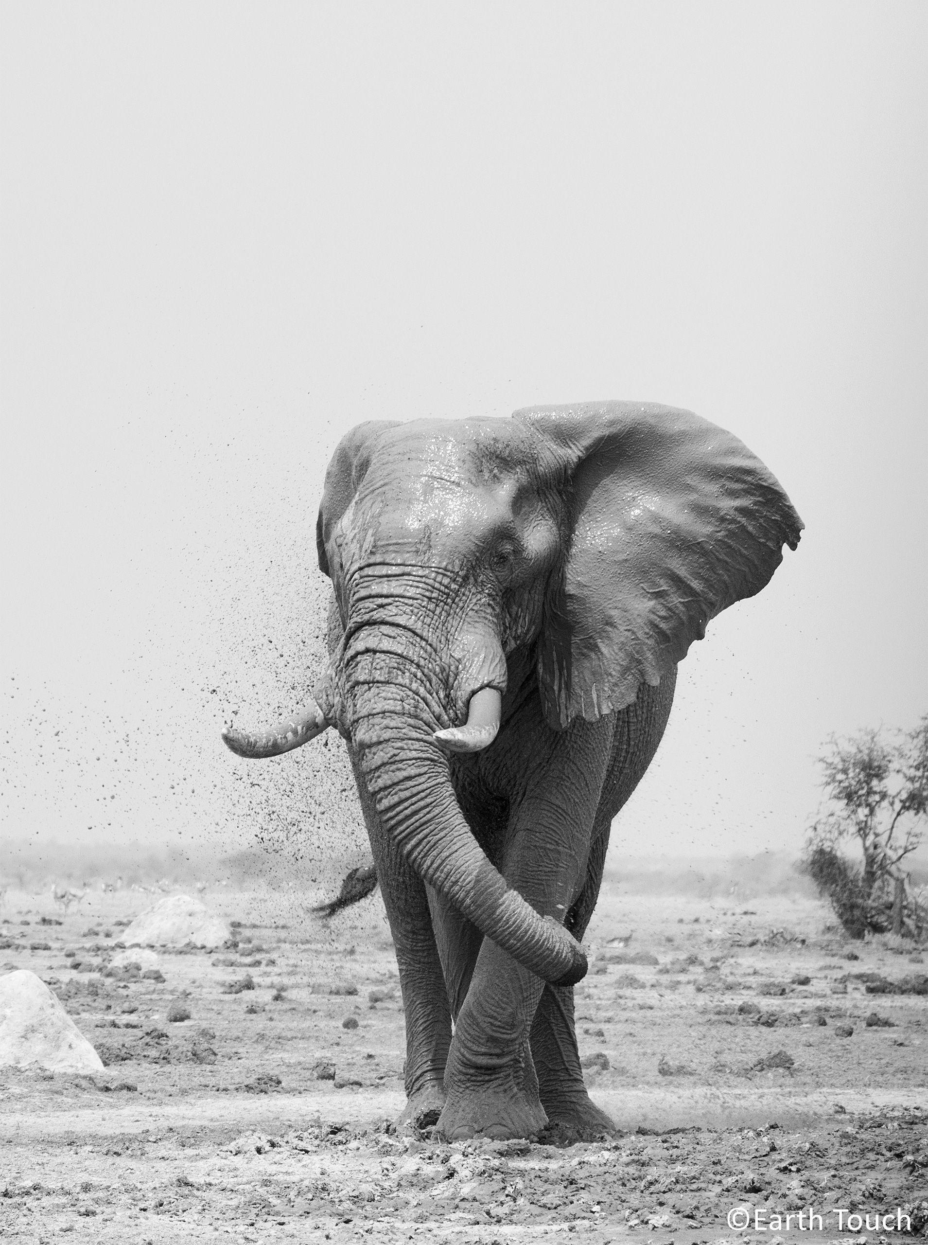 An elephant enjoying a mud bath in Botswana\'s Nxai Pan National Park ...