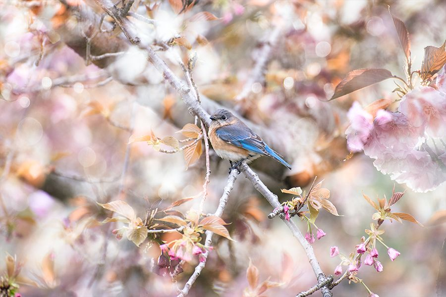 how to attract bluebirds to feeder