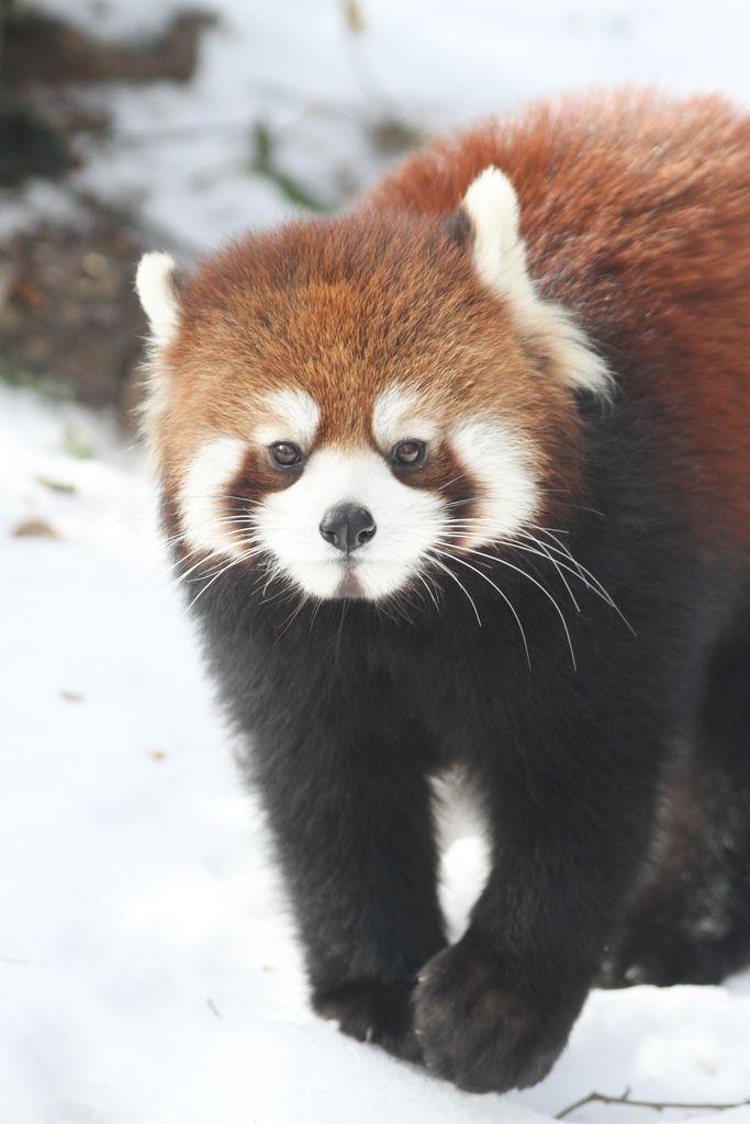 Img 6441 Jpg Mit Bildern Tierbilder Roter Panda Tiere