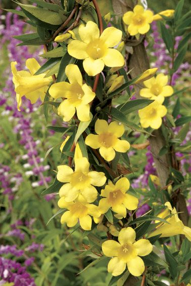 Gelsemium Sempervirens Yellow Sweetly Scented Trumpet Shaped