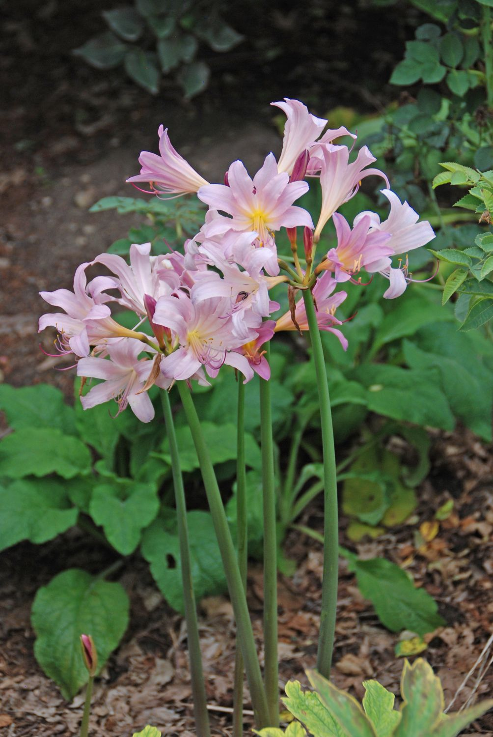Planting Surprise Lilies Lycoris Squamigera Lily Plants Flower Landscape Plants