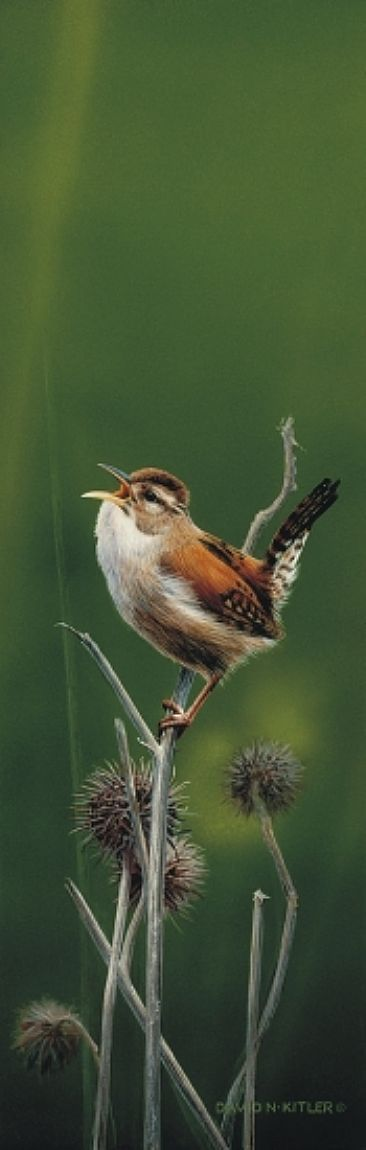 Wren on Thistle | David Kitler ✿⊱╮