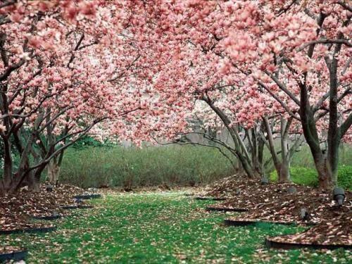 I See Beauty Cherry Blossom Wallpaper Blossom Trees Spring Wallpaper
