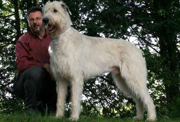 Far And Away Largest Dog Breed On This List Is The Irish Wolfhound Thin And Gangly The Irish Wolfhound Was Bred To Irish Wolfhound Large Dog Breeds Wolfhound