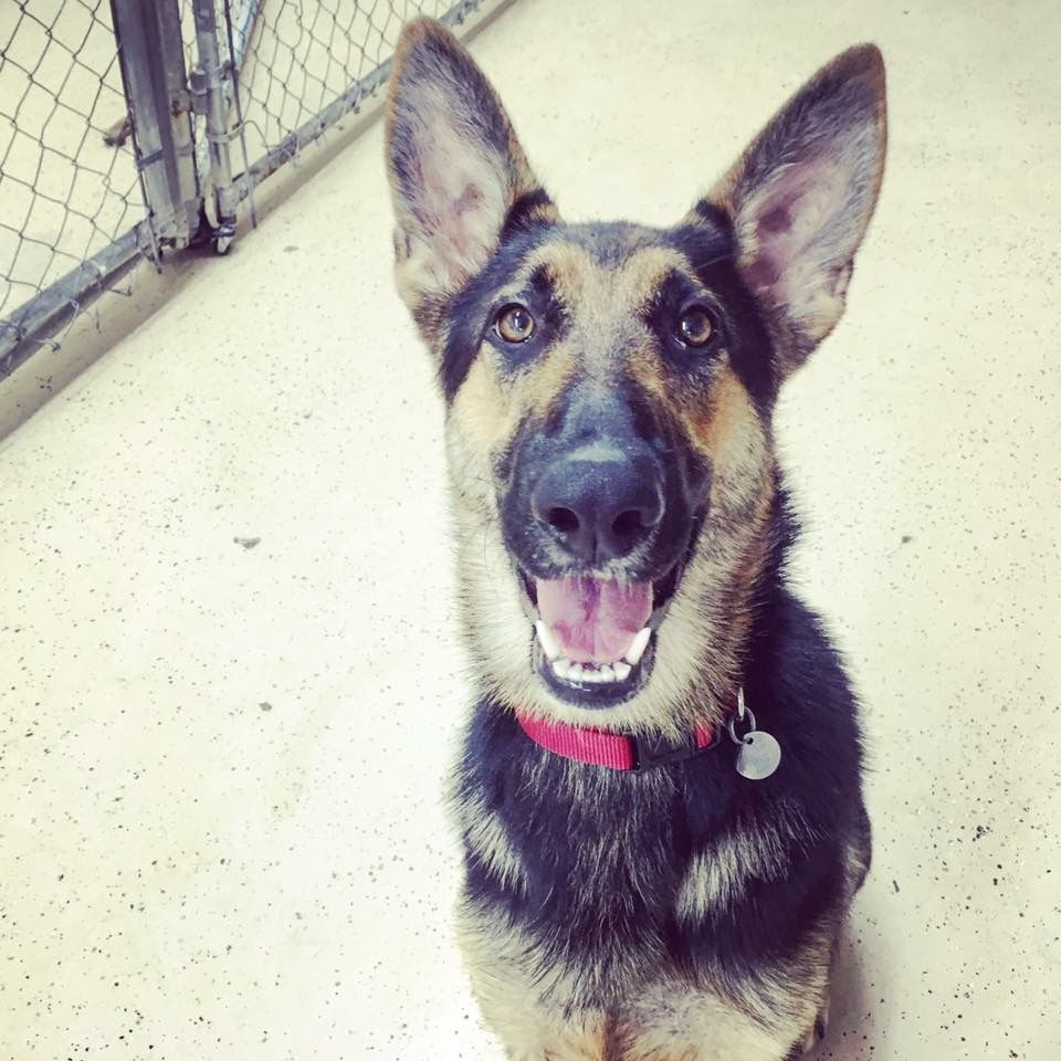 German Shepherd Dog Dog For Adoption In San Jose Ca Adn 743820