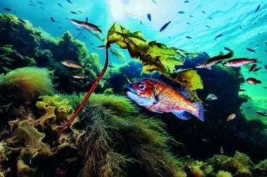 El golfo generoso. Un grupo de lábridos  se enfila hacia un lecho de algas
