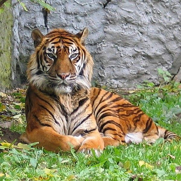 What an elegant animal the tiger!