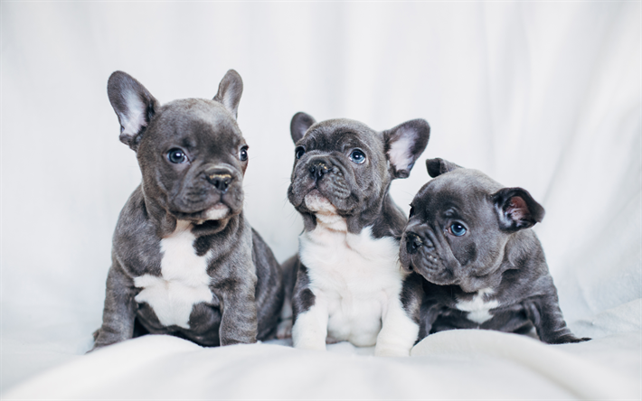 Download Wallpapers French Bulldog Gray Puppies Small Dogs Pets Puppies Besthqwallpapers Com Bulldog Puppies French Bulldog Wallpaper Cute French Bulldog