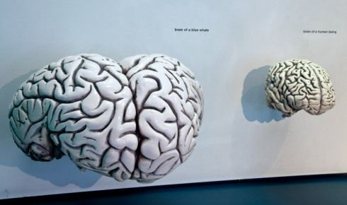 Compare the size of a blue whale and human brain | Hint; the bid ...