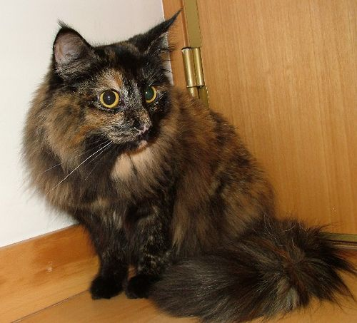 Norwegian Forest Cat Nyx Norwegian Forest Cat Forest Cat Different Breeds Of Cats