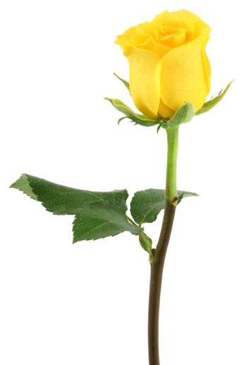 Yellow Rose Online Puja Store Yellow Roses Yellow Rose