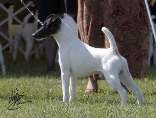 "AKC Best in Show Smooth Fox Terrier Ch ""J'Cobe Kemosabe Vigilante Justice"""
