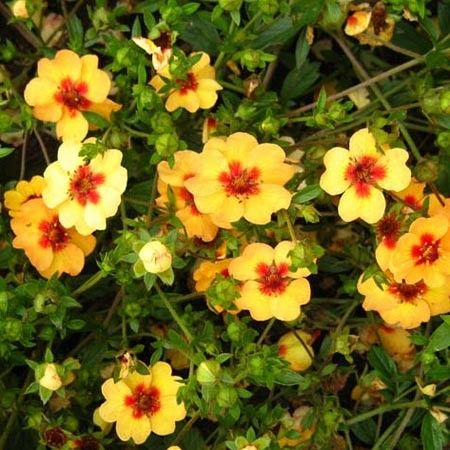 pięciornik Tongue'a (łac. Potentilla tonguei) kod: 1397 - Szkółka bylin Bergenia – Byliny, Kwiaty, Rośliny | Sadzonki