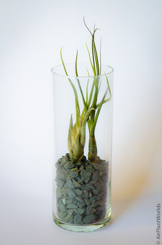 Air Plant Glass Cylinder Vase Tall Glass Cylinder Vases Air