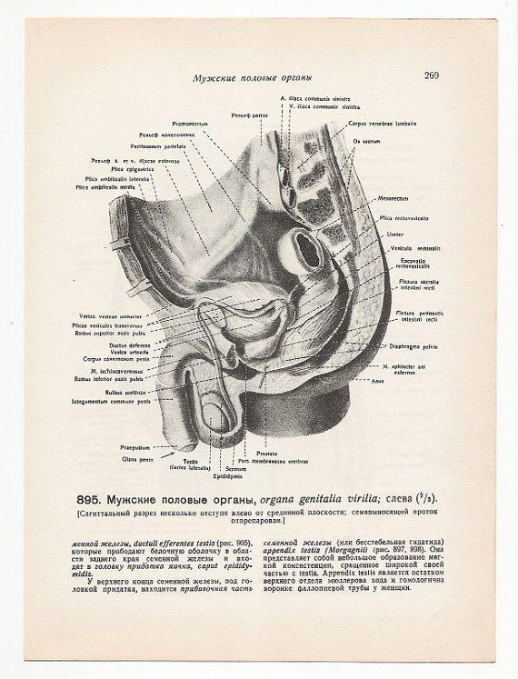 Penis Anatomical 1947 Prints two Vintage Illustrations medical ...