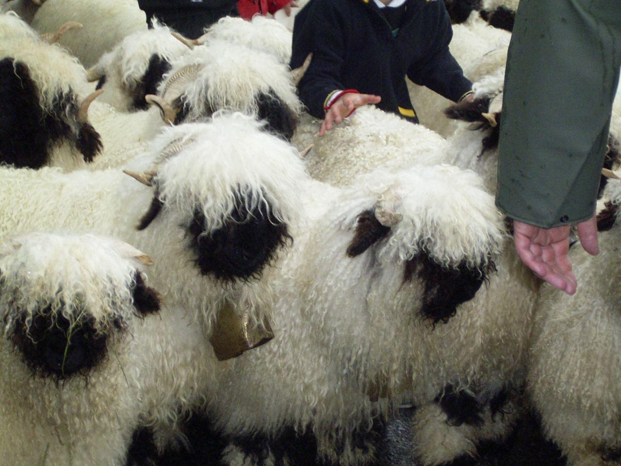 Walliser Schwarznasenschaf Google Search Fluffy cows