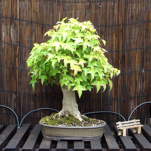 Bonsai Acer Buergerianum 2004 | Flickr - Photo Sharing!