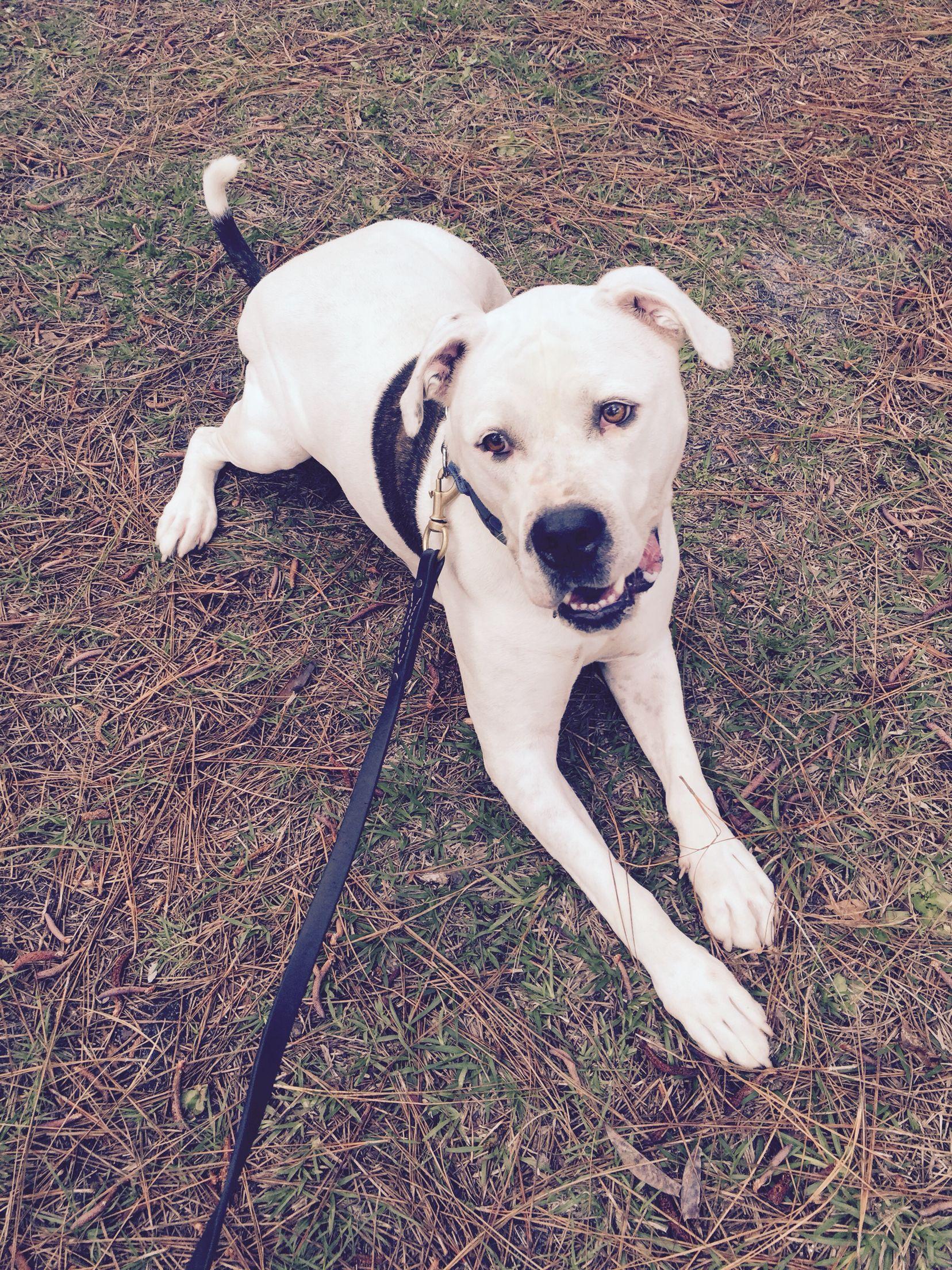 Ozzie American Bulldog St Petersburg Fl Labrador Retriever