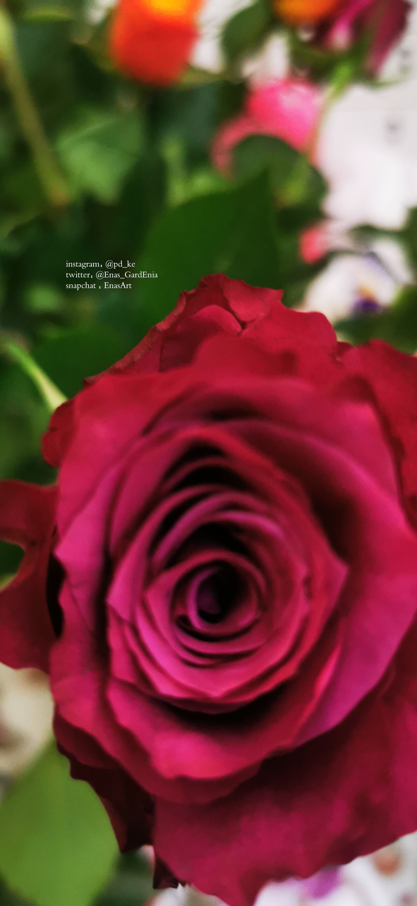 Instagram Pd Ke Twitter Enas Gardenia Snapchat Enasart Www Instagram Com Pd Ke تصويري ايناس الغاردينيا تصوير جوال تصوير السعود In 2020 Plants Rose Flowers