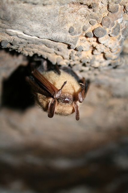 Tri-colored Bat (formerly known as Eastern Pipistrelle) (Perimyotis subflavus)